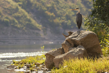 Grey heron standing on big rock near river