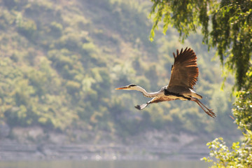 Grey heron flying over big river shore