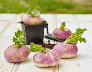 Turnips on wooden table with a mini shovel