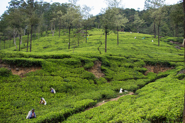 Teeplantage, Nuwara Eliya, Sri Lanka