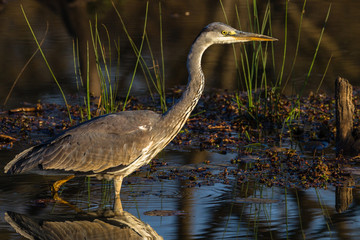 Wildlife Grey Heron Bird