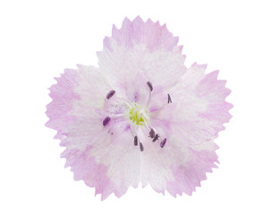 Pink-white carnation isolated on a white