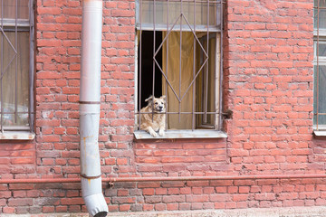 dog lying on the window of his house