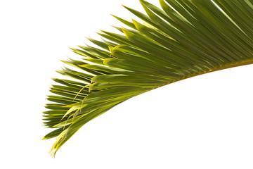 feuille de palmier bouteille sur fond blanc