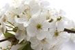 canvas print picture - Fleur de cerisier