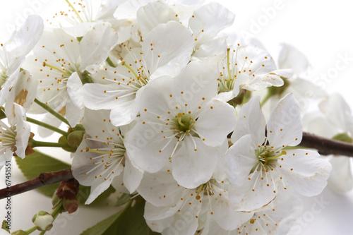 canvas print picture Fleur de cerisier