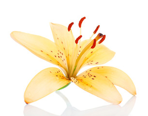 Lily flower isolated on white
