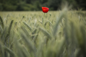 Poppy flower in a field