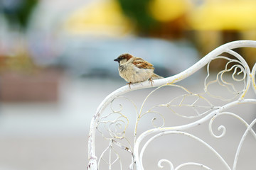 Sparrow sitting on a chair's back rest