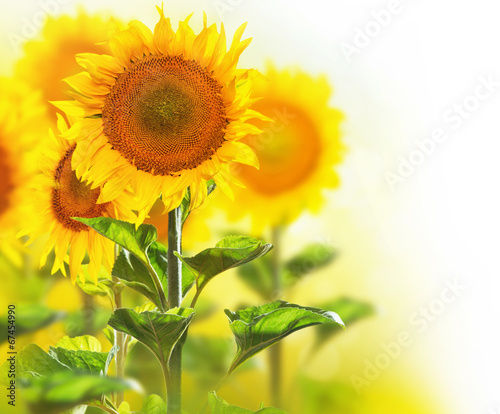 Foto op Canvas Zonnebloem Blooming sunflowers border design isolated on white