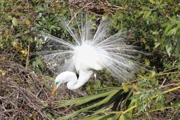 Great Egret Breeding Display