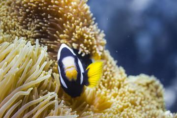 Clark's anemonefish (Amphiprion clarkii)