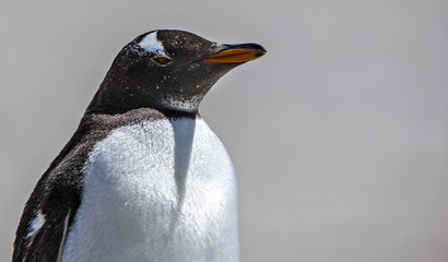 Gento Penguin Close-Up