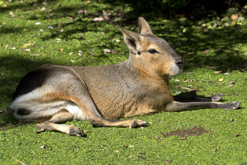 Patagonian hare or mara resting on a green lawn under the autumn