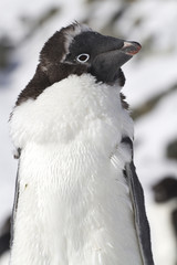 Portrait of Adele penguin who is able to molt