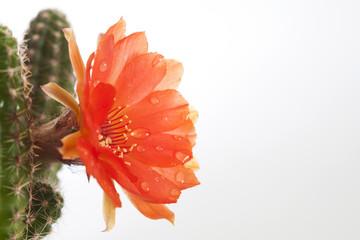 cactus flower f