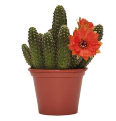 cactus flower d