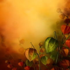 Autumn background with lantern flowers.