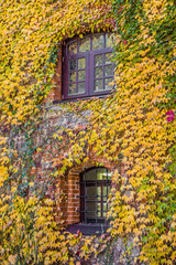 House wall overgrown with wild grapes, autumn scene