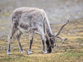 Wild reindeer, Arctic, Svalbard