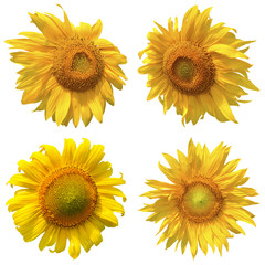 Set of four isolated sunflowers