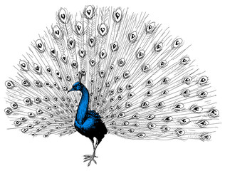 Peacock isolated hand drawing