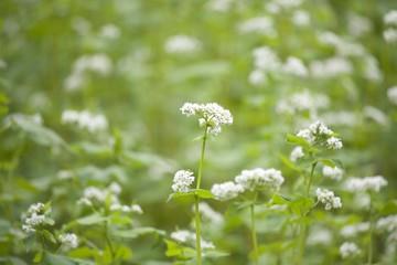 江丹別の花咲くそば畑7月