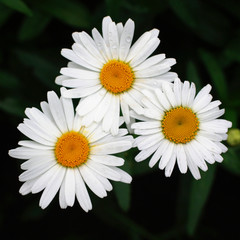 white daisy in dark background