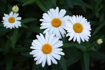 white daisy in dark background
