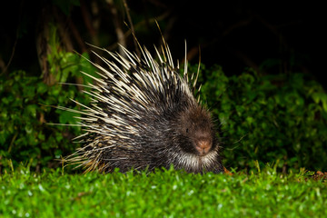 Nocturnal animals Malayan porcupine front view