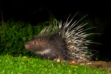 Full body side view of Nocturnal animals Malayan porcupine