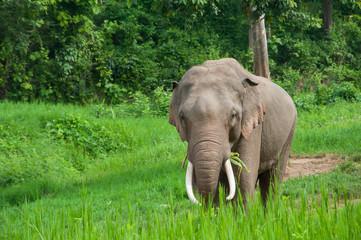 Male Asian Elephant in grassland