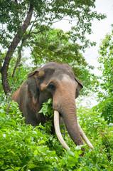 male elephant with lon ivory