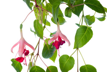 blossoming branch exotic red fuchsia, isolated on white backgrou