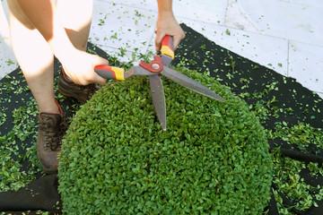 ein Buchsbaum wird geschnitten