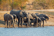 Herd of African elephants drinking water
