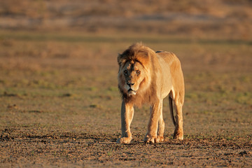 Big male African lion, Kalahari desert