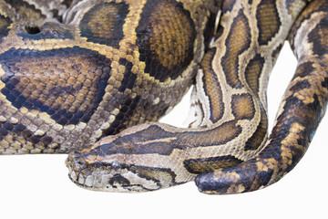 Ghost black pastel ball python (Python regius) isolated on white