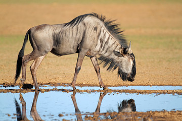 Blue wildebeest at waterhole, Kalahari desert