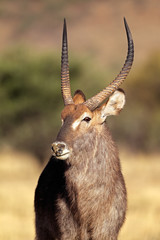 Waterbuck bull portrait