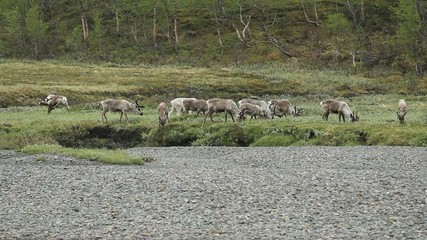 Reindeer grazing in Lapland