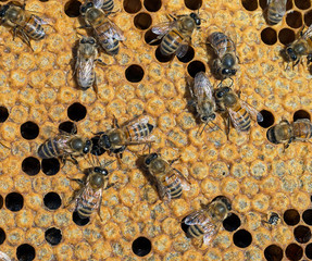 Sealed cells for metamorphosis, inside beehive. One new bee emer