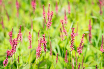 Red flowering Polygonum plants