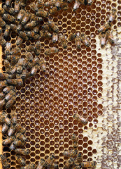 Beehive detail - bees, honey, cells, wax. Apiculture.