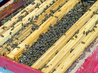 Looking into the beehive - honey production. Busy bees.
