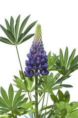 Lupine, Lupinus, angustifolius,