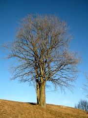 Albero in inverno