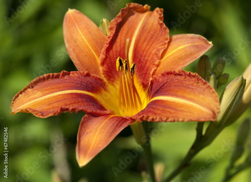 canvas print picture Taglilie, Hemerocallis,