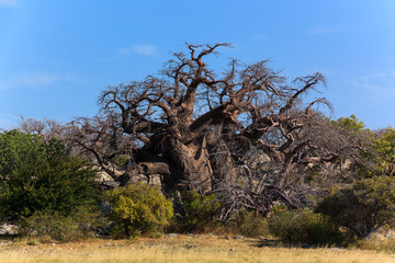 Big african baobab