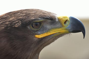 Eagle head in close up